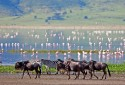 Highlands-Ngorongoro-wildebeest-and-flamingos-HR-1.jpg